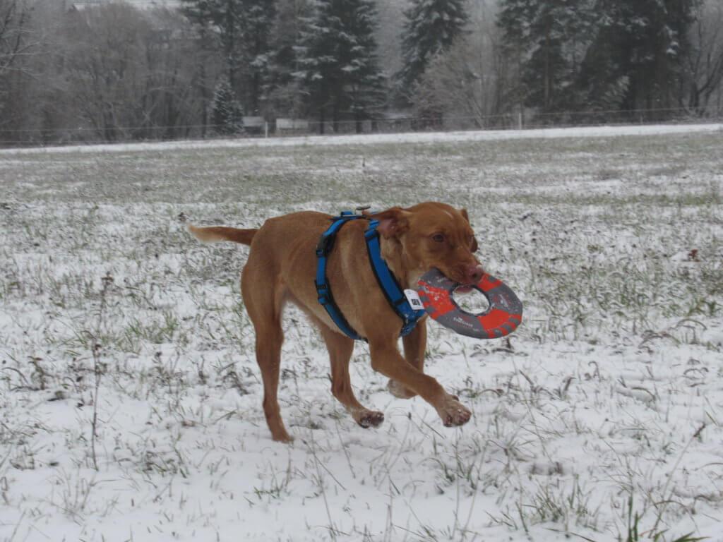 Lola_im_Schnee_mit_Frisbee